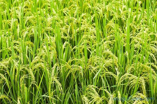 మేలు చేసే వరి
